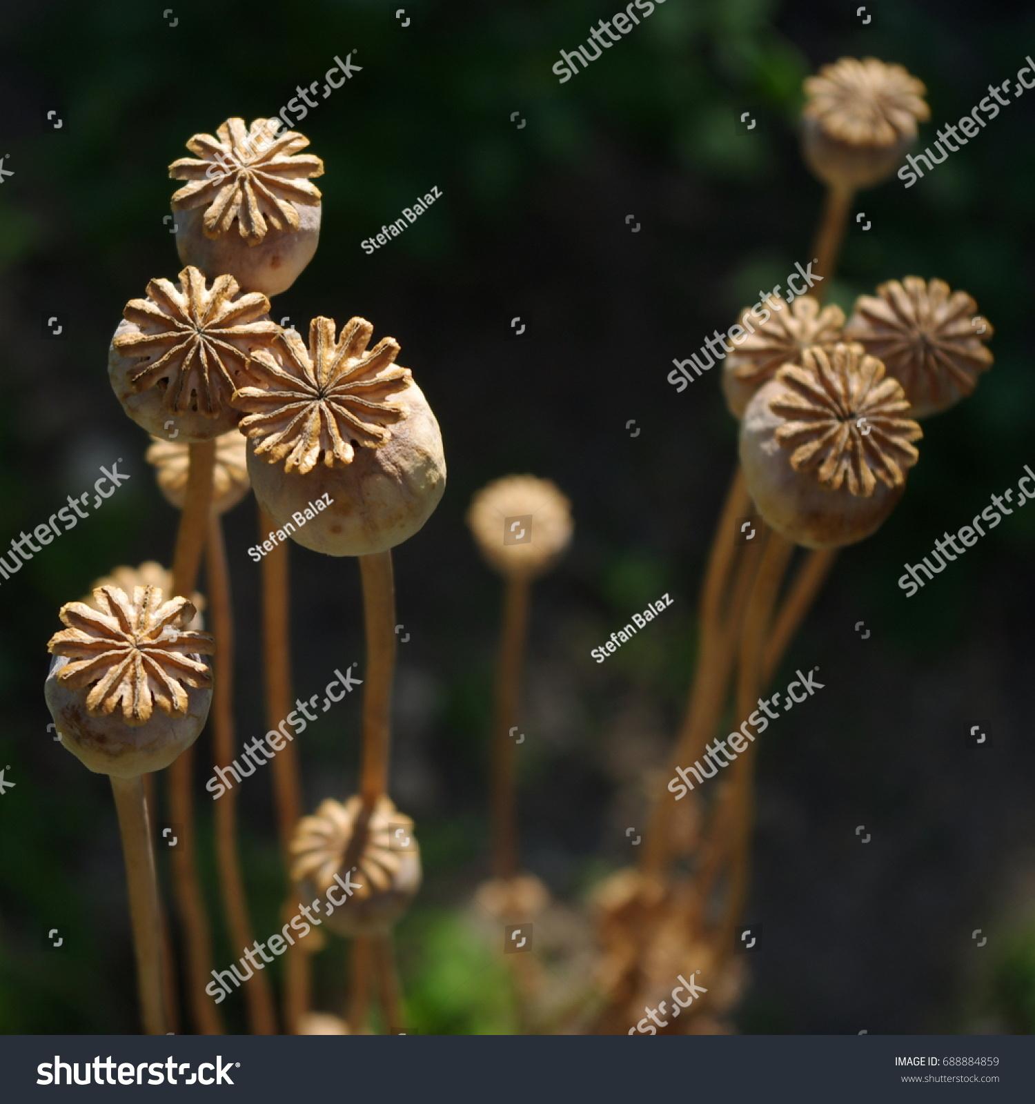 Dried poppy head opium drugs plant stock photo image royalty free opium drugs plant poppy seed heads opium drugs izmirmasajfo