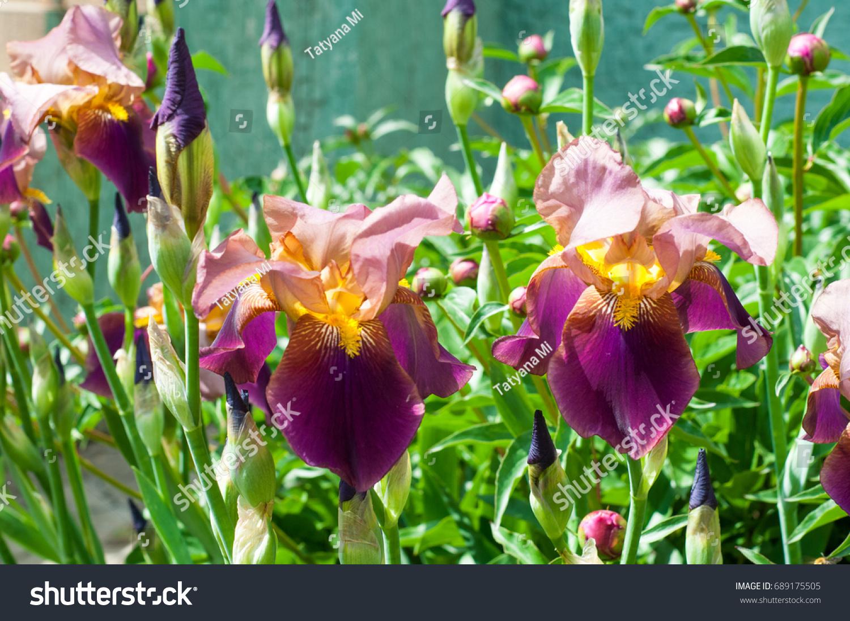 Iris Genus About 260300 Species Flowering Stock Photo Edit Now