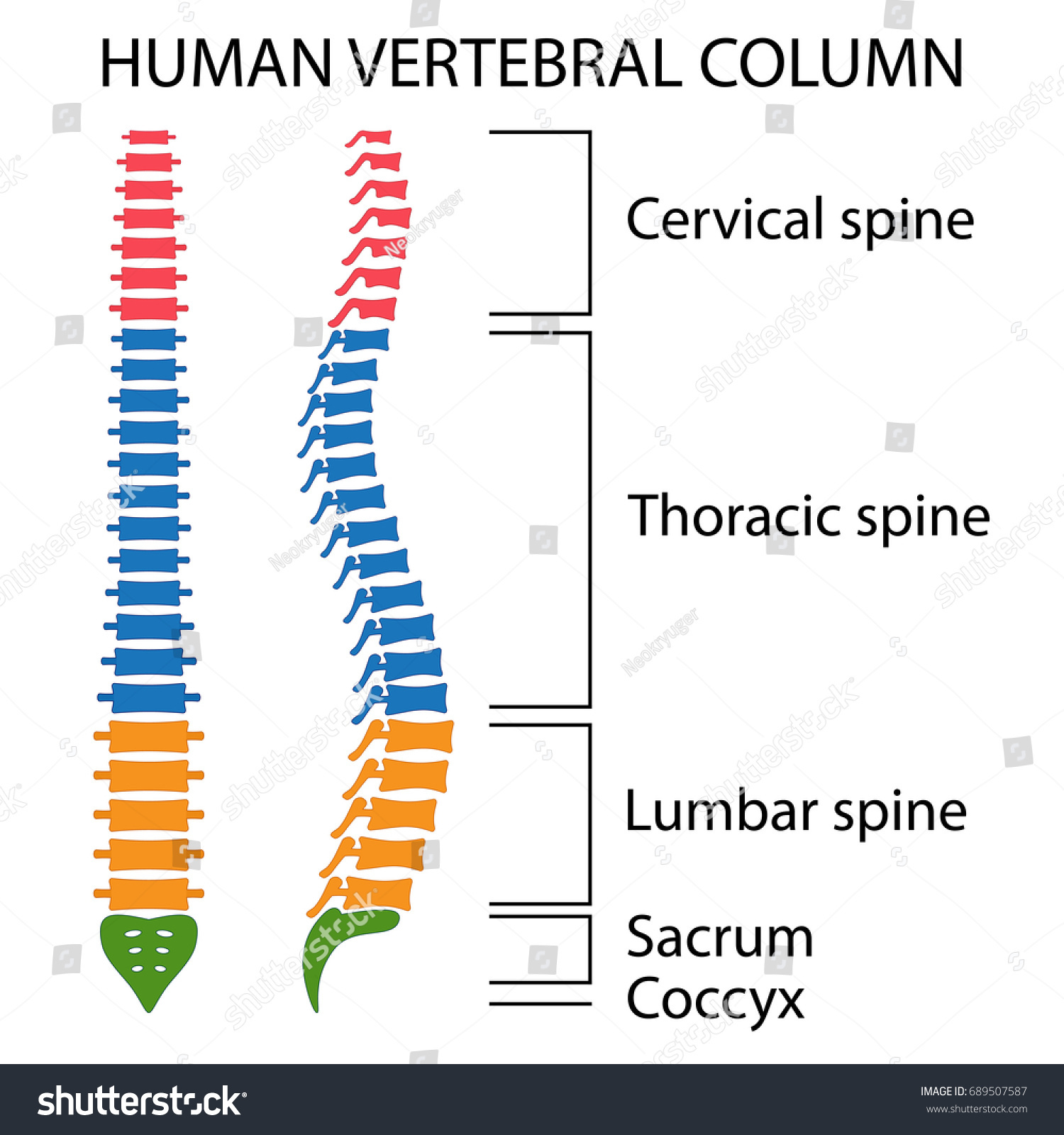 Vertebral Column Spine Structure Human Body Stock Vector Royalty