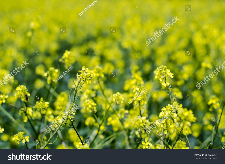 Photo Infinite Yellow Canola Flower Field Stock Photo Safe To Use