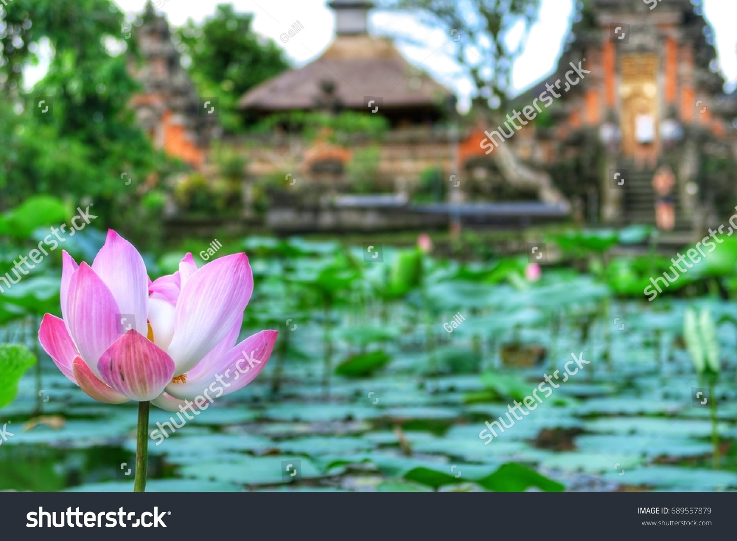 Nelumbonaceae Beautiful Pink Lotus Flower Buddhist Stock Photo
