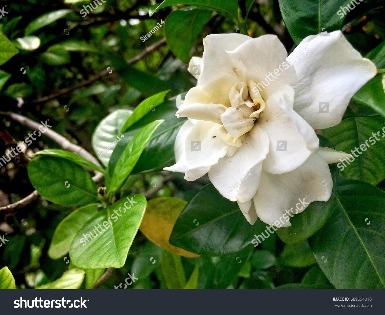 Beautiful White Gardenia White Flowers Garden Stock Photo Royalty