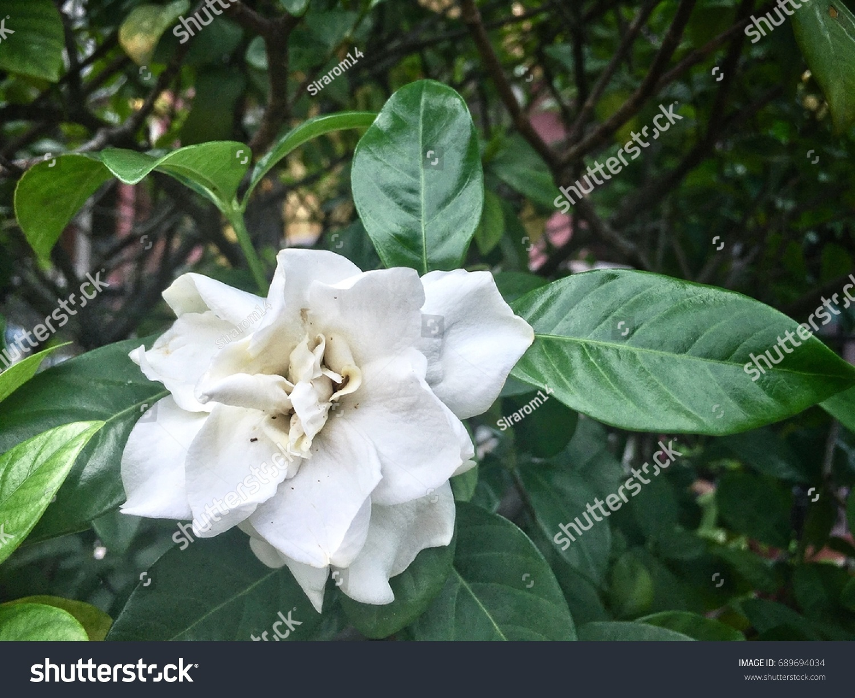 Gardenia Flower Beautiful White Gardenia White Stock Photo Royalty