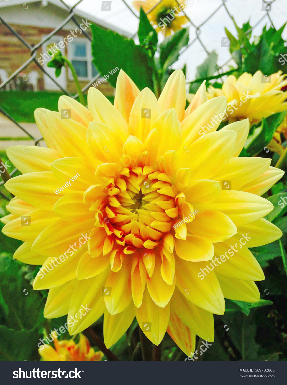 Yellow dahlia flower closeup in the garden ez canvas izmirmasajfo