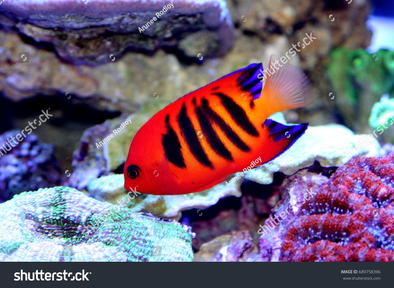 Centropyge Loricula Flame Angelfish Japanese Pygmy Stock Photo ...