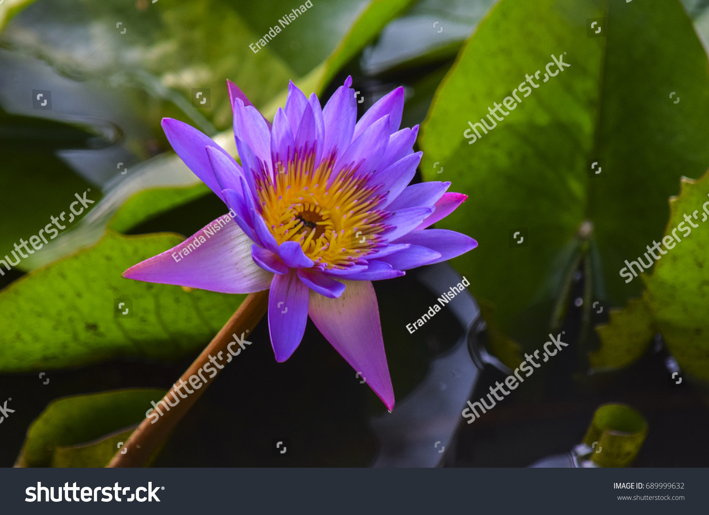Blue water lily ez canvas id 689999632 izmirmasajfo