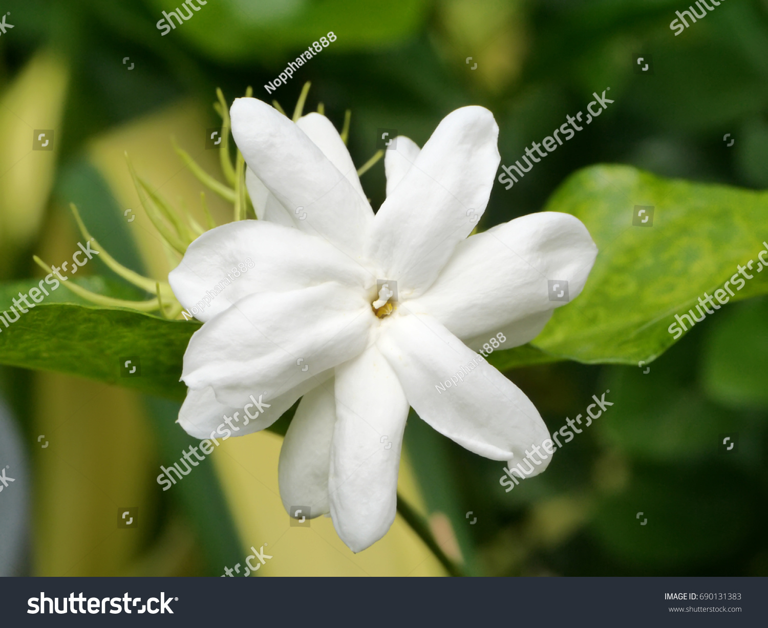 White Of Jasmine Flower Ez Canvas