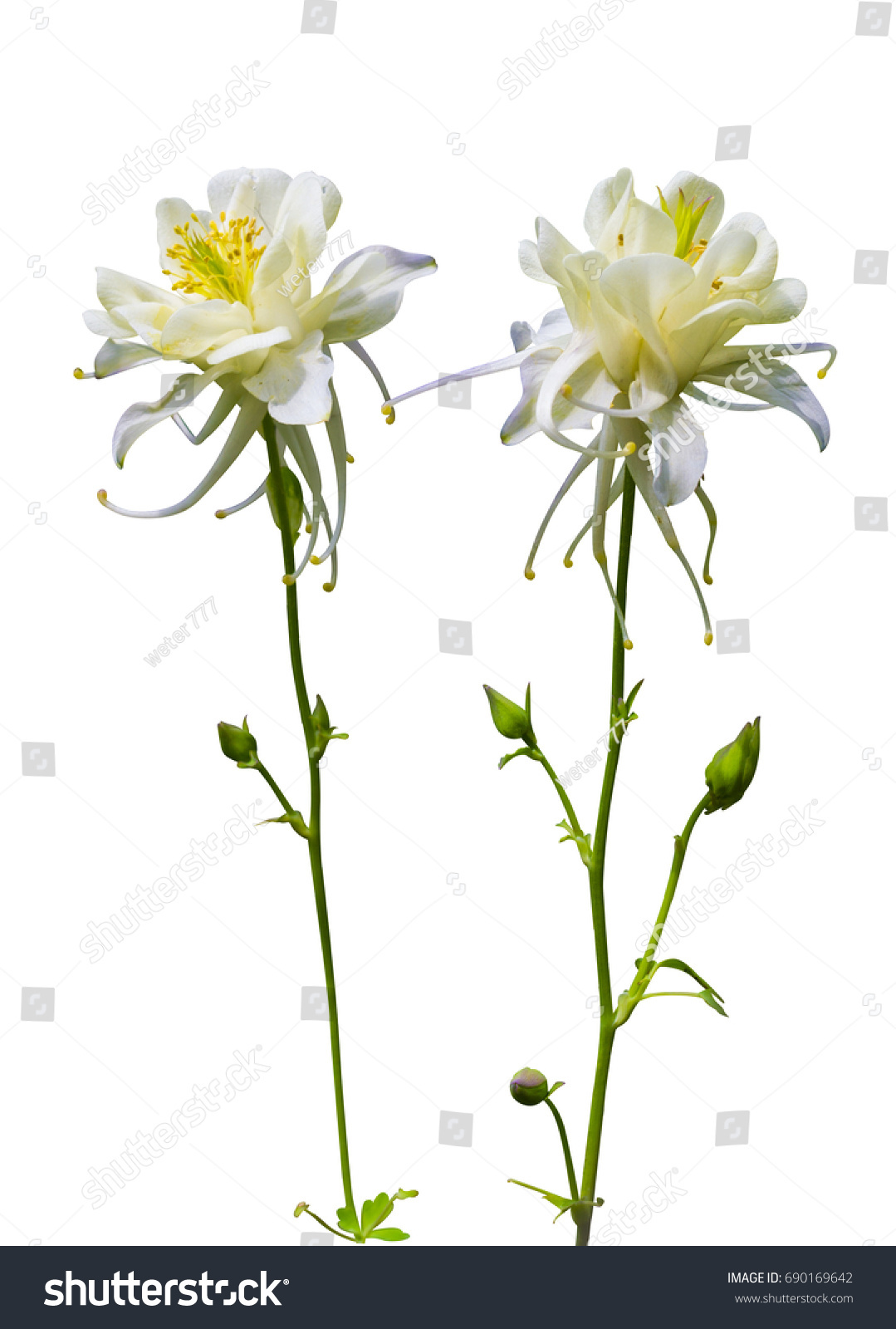 White flowers columbine flower isolated on stock photo edit now white flowers columbine flower isolated on a white background izmirmasajfo