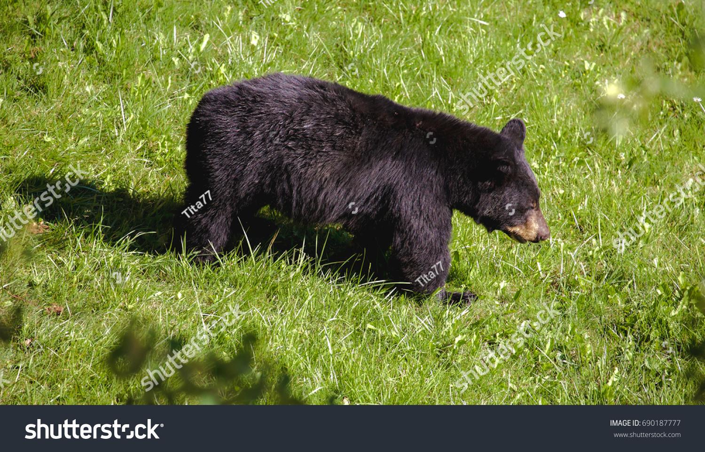 black bear backyard stock photo 690187777 shutterstock