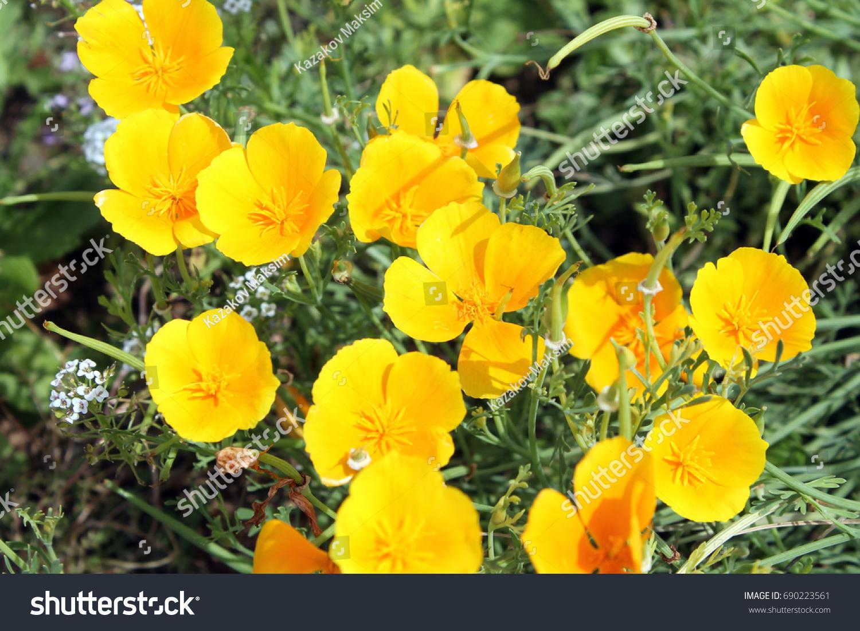 Yellow Flowers California Choice Image Fresh Lotus Flowers