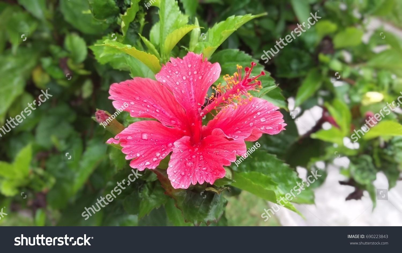 Jamaica flower stock photo royalty free 690223843 shutterstock izmirmasajfo