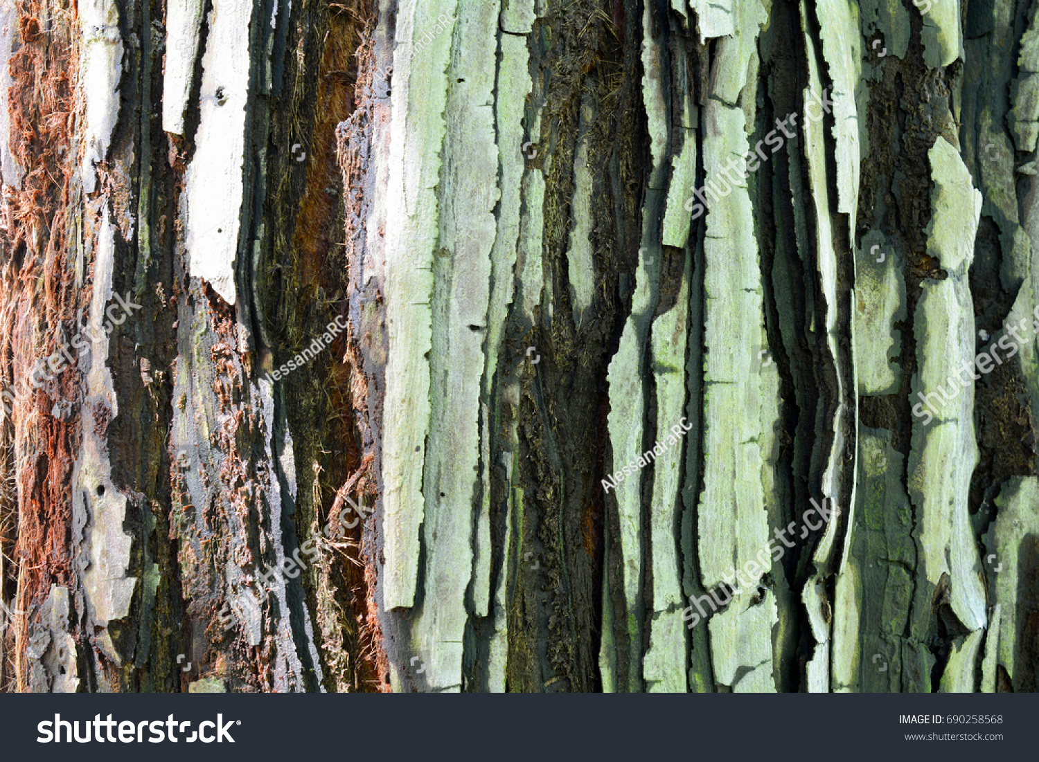 Bark Young Coastal Redwood Sequoia Sempervirens Stock Photo (Royalty ...
