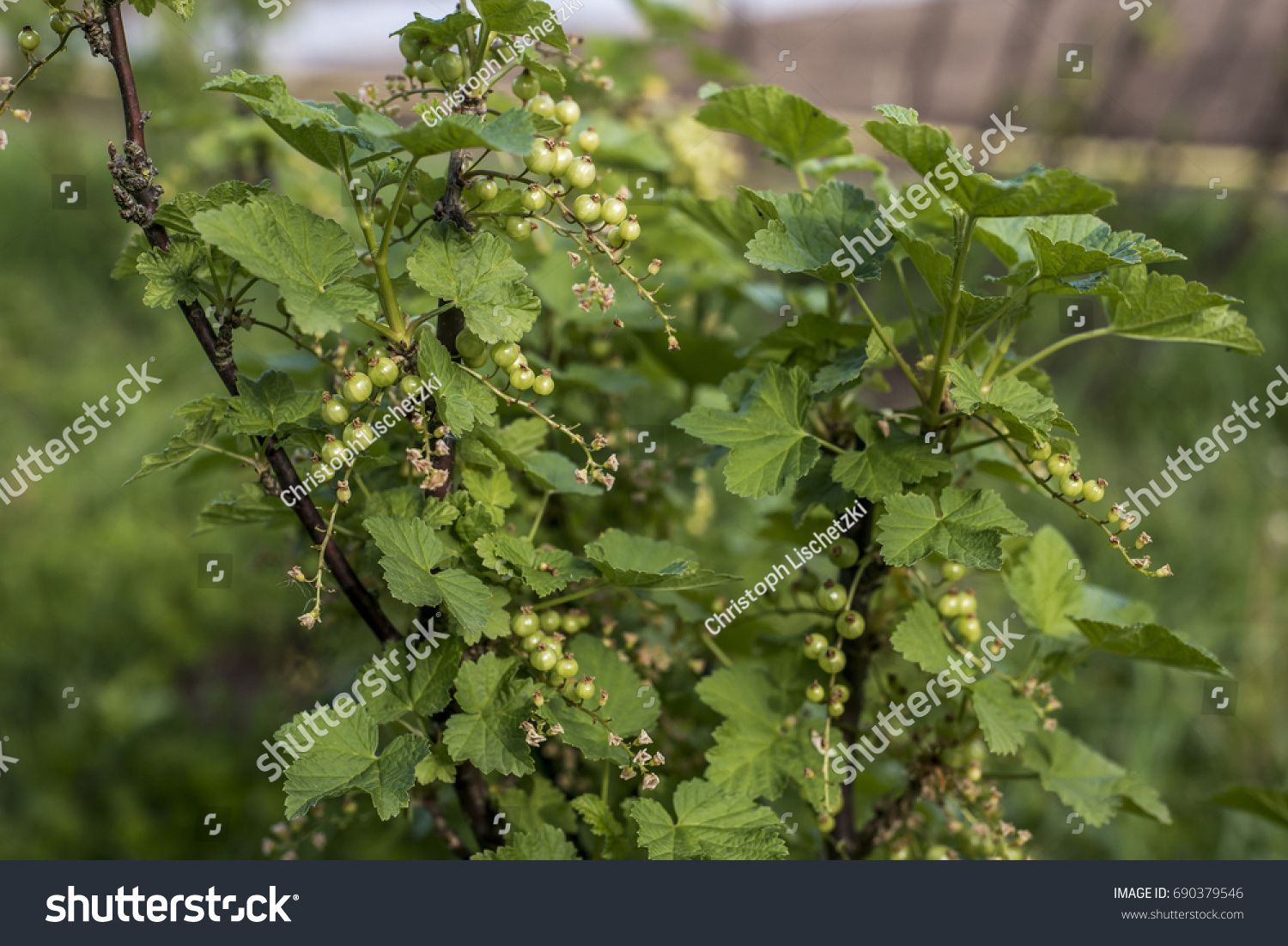 Currant Plant Unripe Raw Red White Currants Fruit Bio Organic