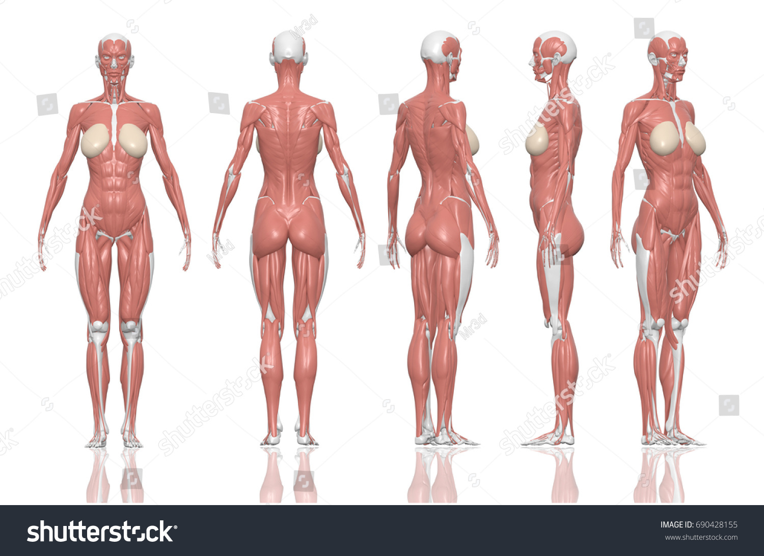 Royalty Free Stock Illustration Of Human Anatomy Female Muscles 3 D