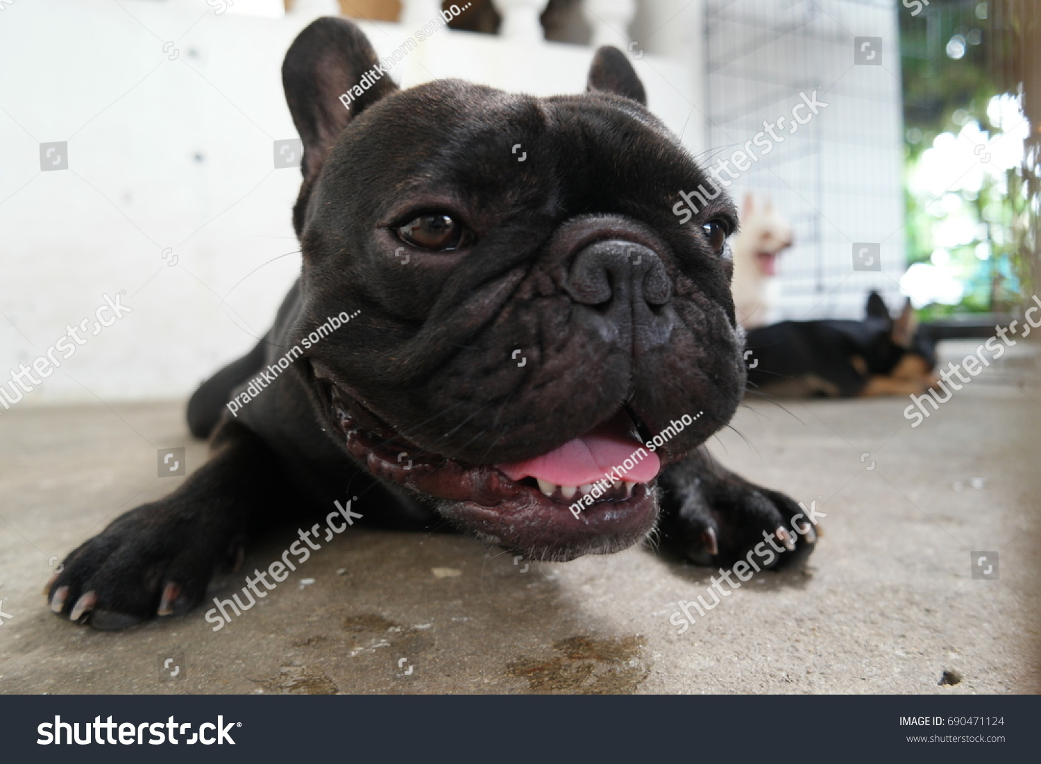 Top Bulldog Black Adorable Dog - stock-photo-close-up-french-bulldog-face-black-dog-lying-on-floor-cute-dog-690471124  2018_30859  .jpg