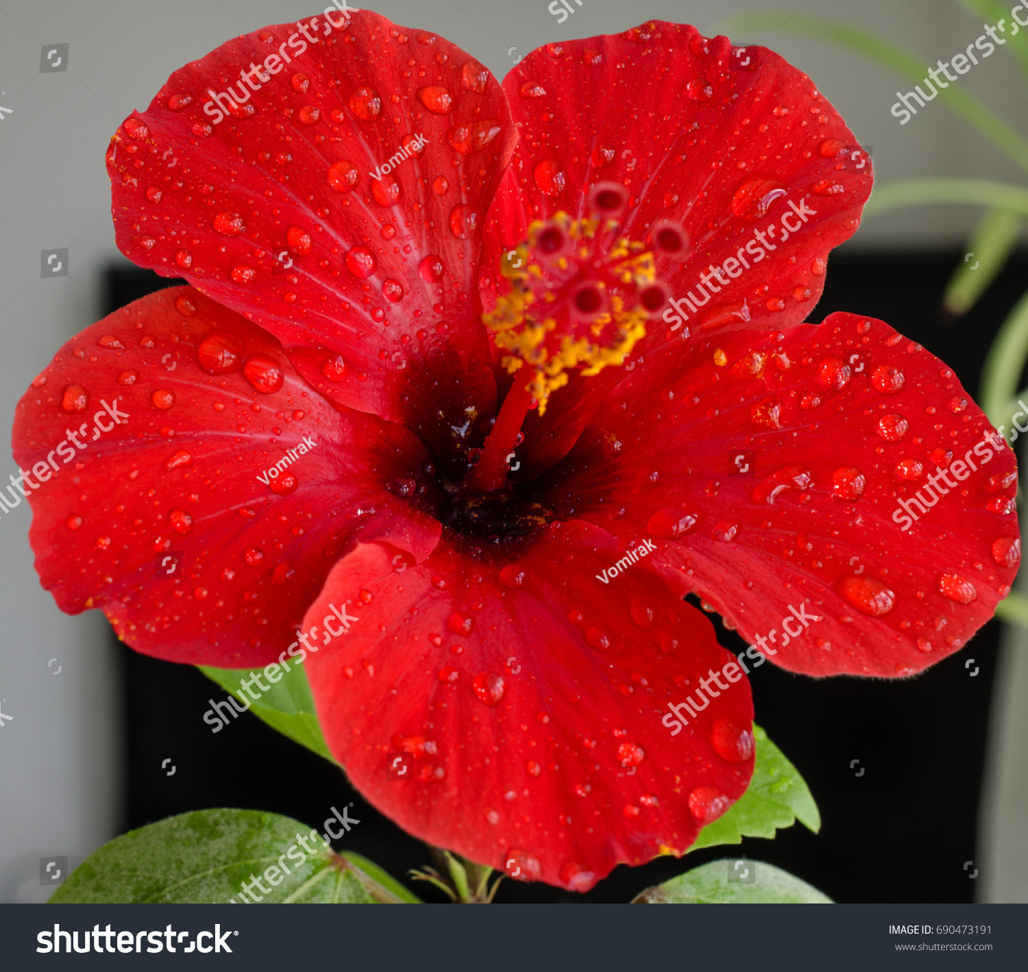 Bright Red Hibiscus Flower Water Drops Stock Photo Edit Now