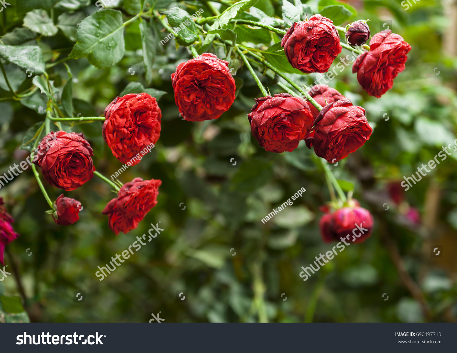 Beautiful roses flower rose garden lovely stock photo edit now a beautiful roses flower in the rose garden lovely rose for valentine day izmirmasajfo