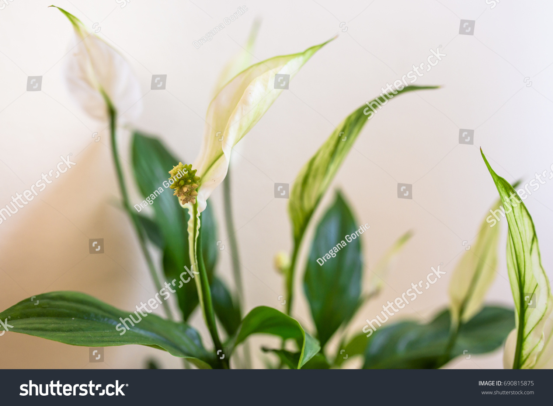 Houseplant spathiphyllum floribundum peace lily white stock photo houseplant spathiphyllum floribundum peace lily white flower on the background of green izmirmasajfo