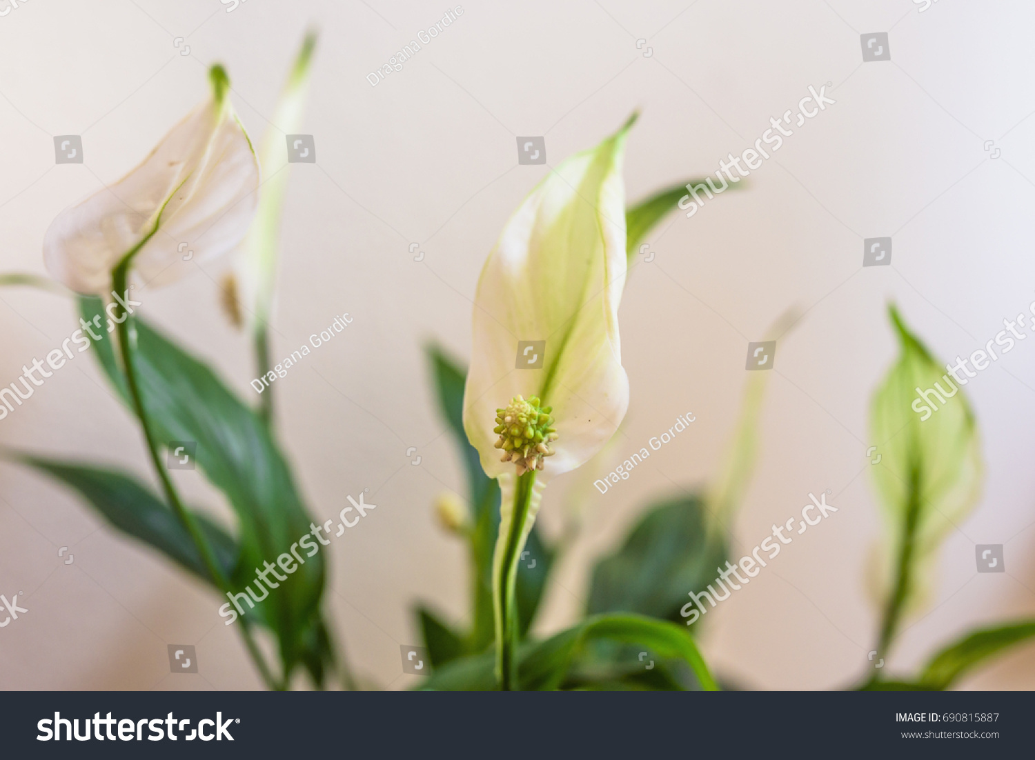Houseplant Spathiphyllum Floribundum Peace Lily White Stock Photo