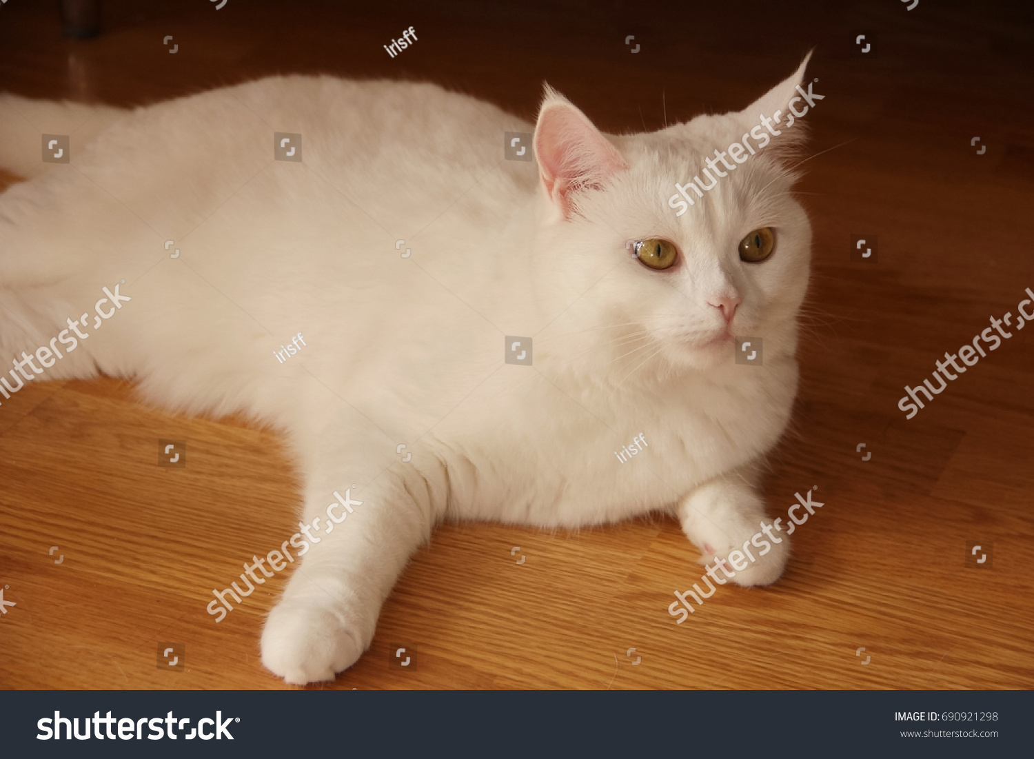 A young white cat, a British breed