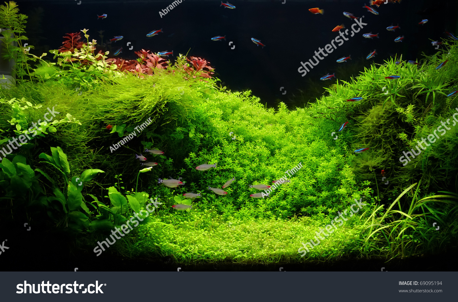Freshwater aquarium fish neon - A Beautiful Planted Tropical Freshwater Aquarium With Bright Blue Neons And Rummy Nosed Tetra Fishes