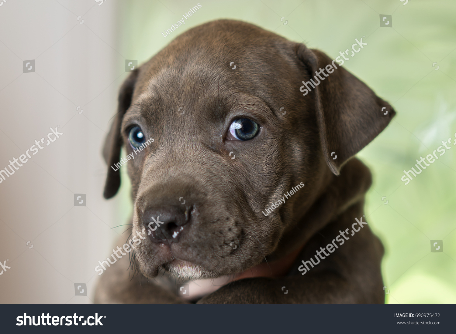 Good Grey Blue Eye Adorable Dog - stock-photo-mix-breed-grey-with-blue-eyes-puppy-canine-dog-being-held-up-looking-happy-pampered-hopeful-690975472  Image_607526  .jpg