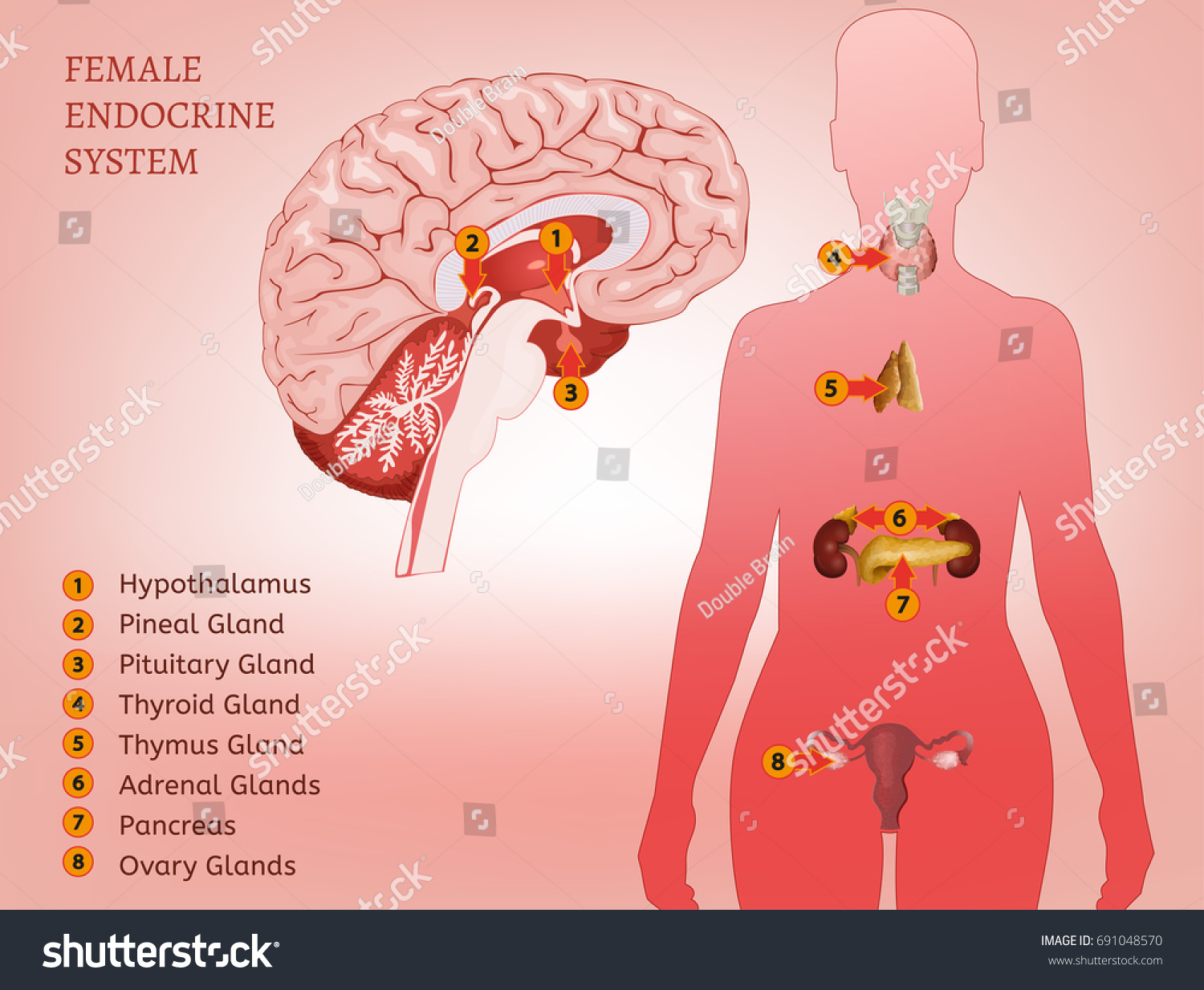 Female Endocrine System Human Anatomy Human Stock Vector Royalty
