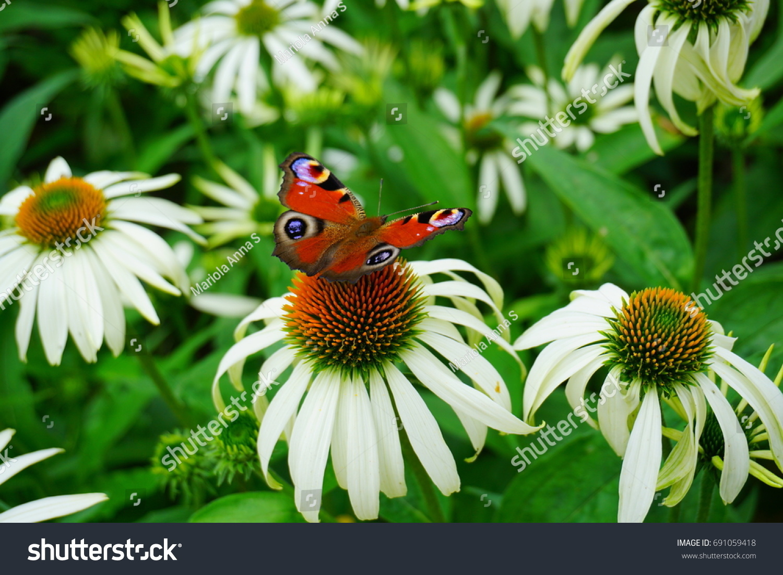 Echinacea Purpurea White Coneflower Flower European Stock Photo