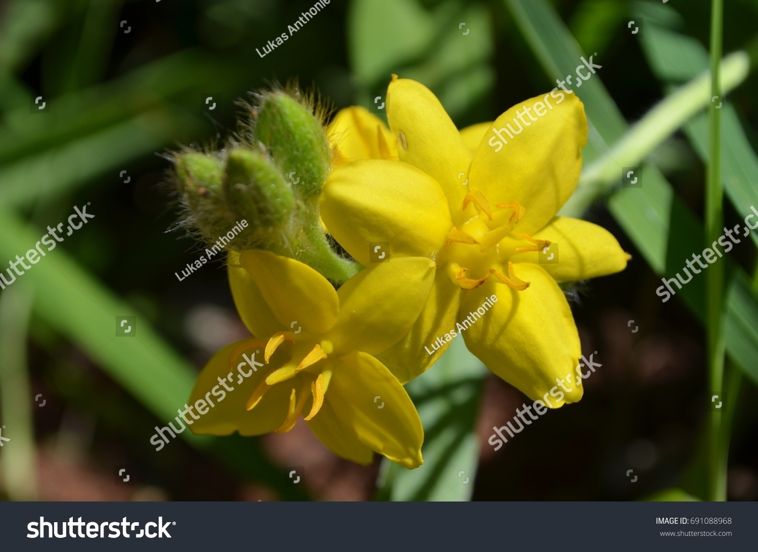 Yellow Star Grass This Hardy Tuberous Stock Photo Edit Now