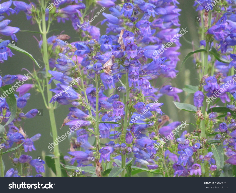 Purple Bell Flowers Stock Photo Edit Now 691089631 Shutterstock