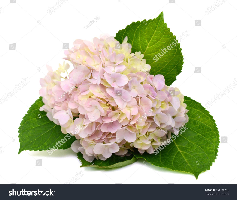 Beautiful Hydrangea Flower Isolated On White Background Ez Canvas
