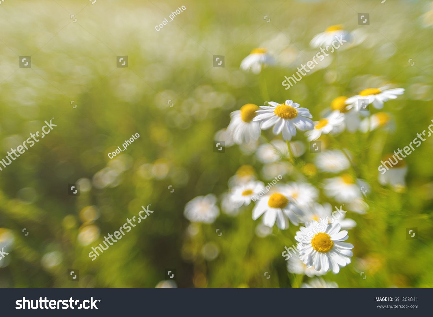 Beautiful Blooming Daisy Field Daisy Flower Background Ez Canvas