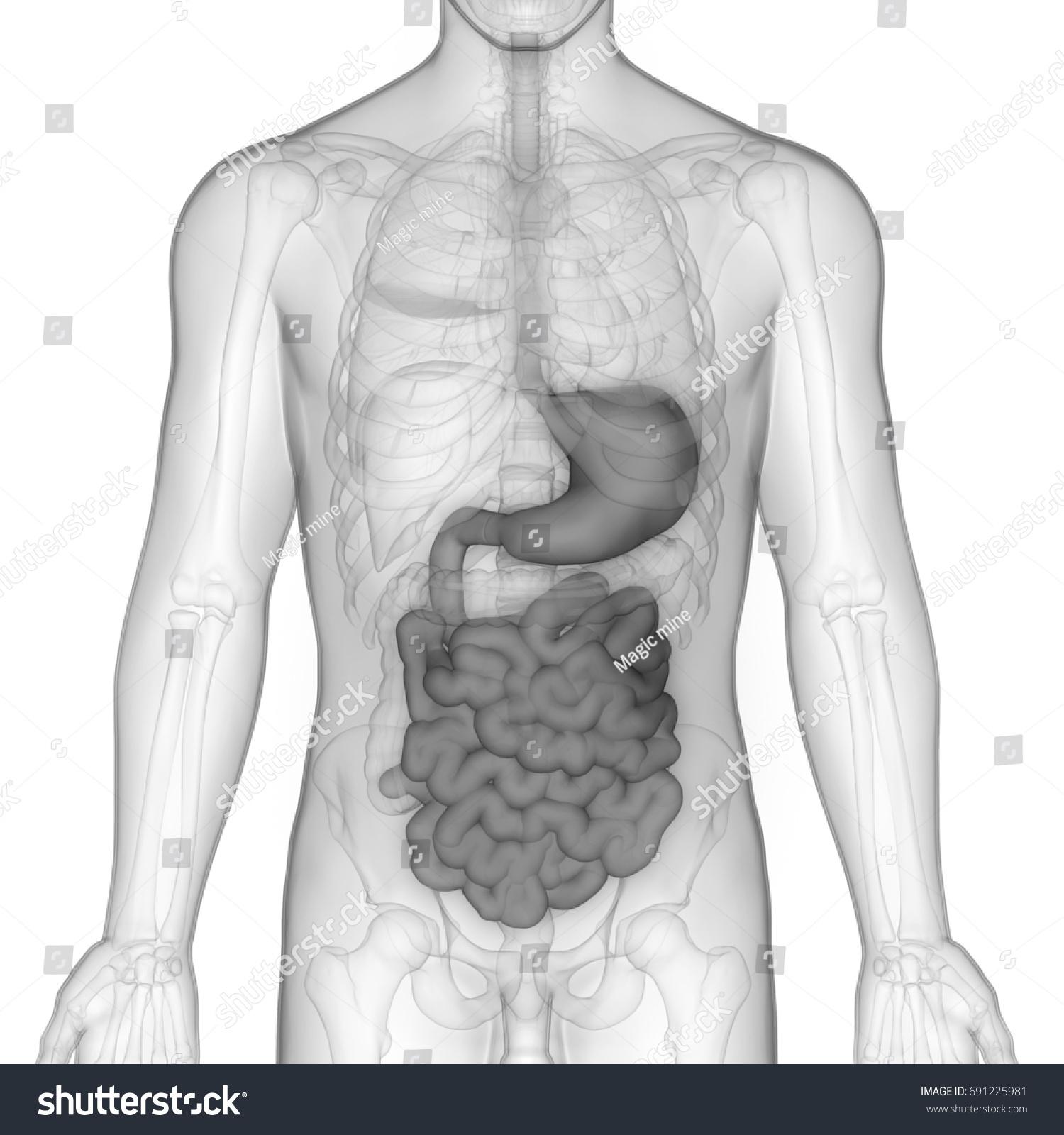 Human Digestive System Anatomy Stomach Small Stock Illustration
