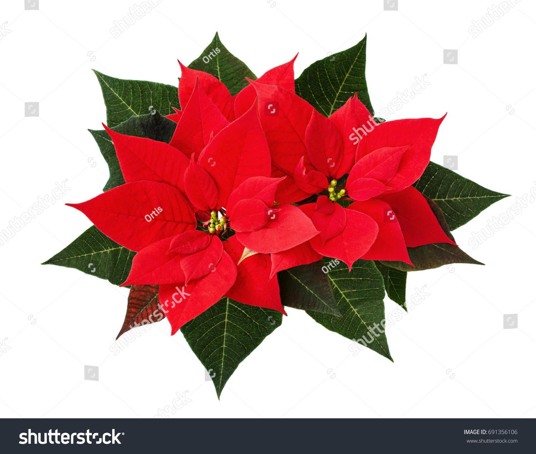 Christmas Poinsettia Flowers Isolated On White Stock Photo Edit Now