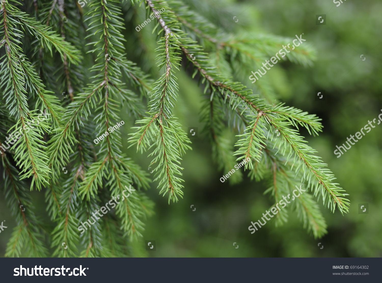 Christmas Tree Needles Stock Photo 69164302 : Shutterstock