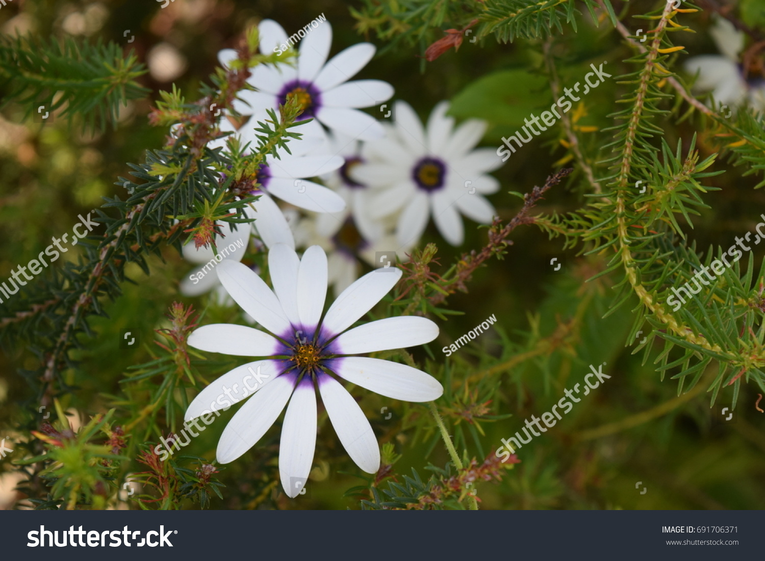 Simple White Daisy Like Flowers Blue Stock Photo Edit Now
