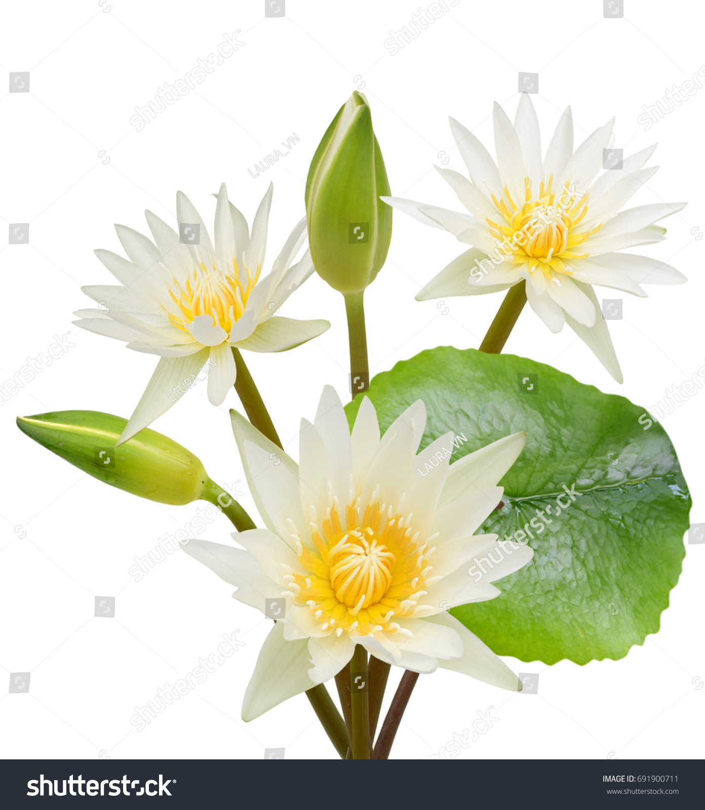 White Water Lily Flower Bouquet Isolated Stock Photo Edit Now