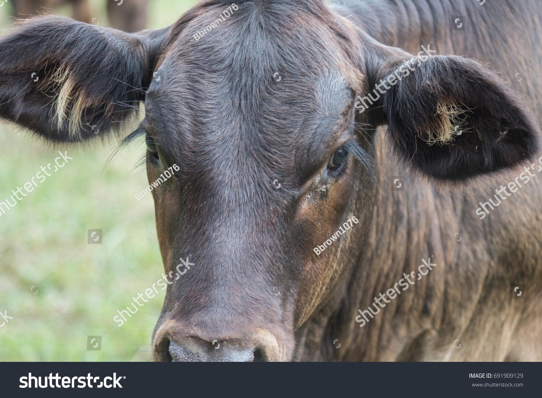 Cow Eyelashes Stock Photo Edit Now 691909129 Shutterstock
