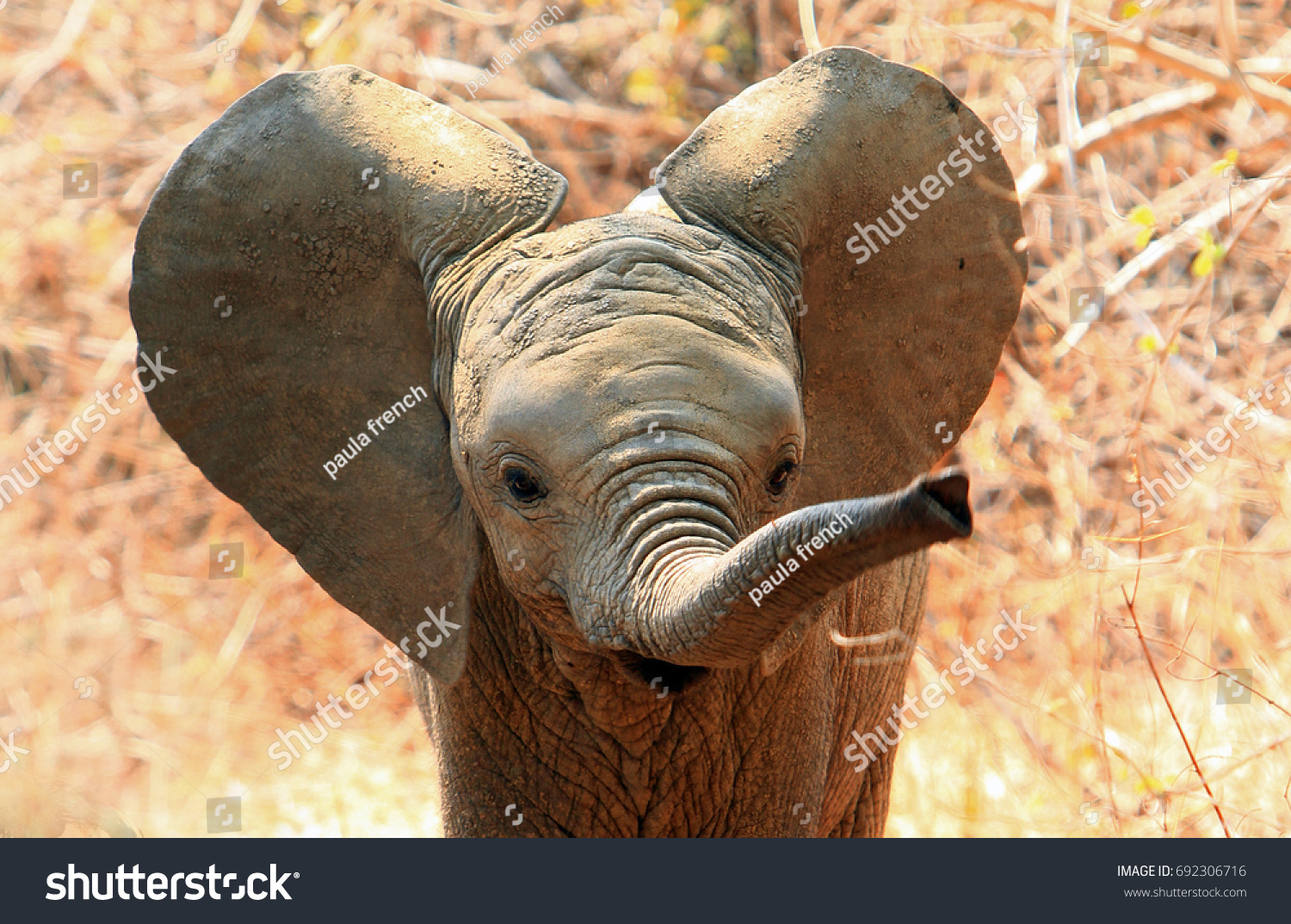 An adorable baby African Elephant with ears flapping and trunk extended in South Luangwa National Park, Zambia.  Motion blur is visible on the tip of the trunk