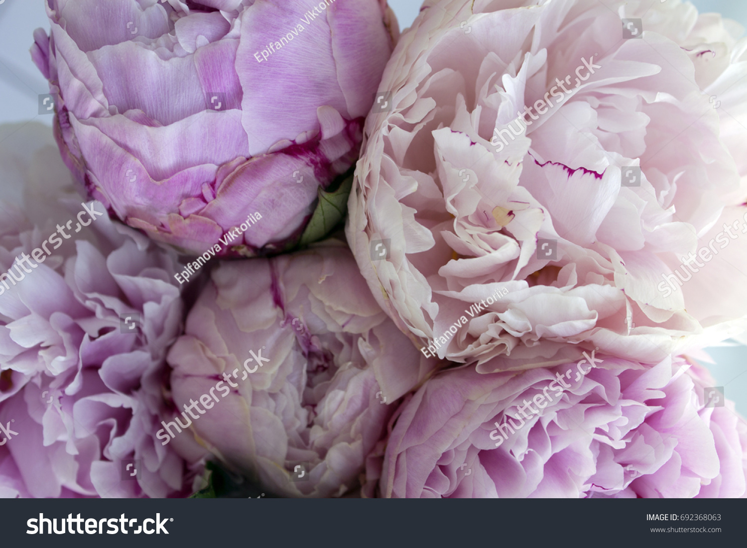 closeup fresh bunch pink peonies peony stock photo (edit now
