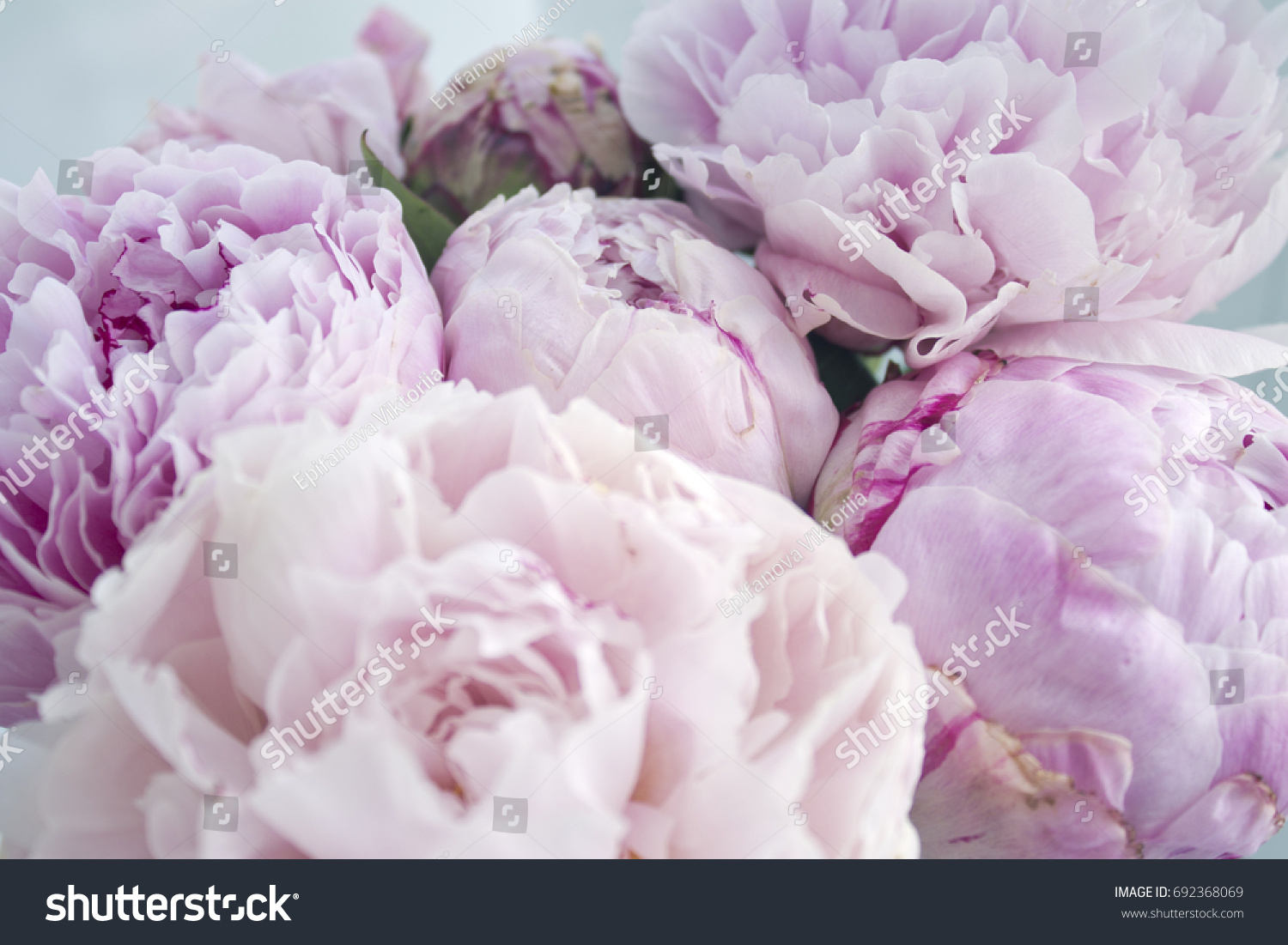 closeup fresh bunch pink peonies peony stock photo (royalty free
