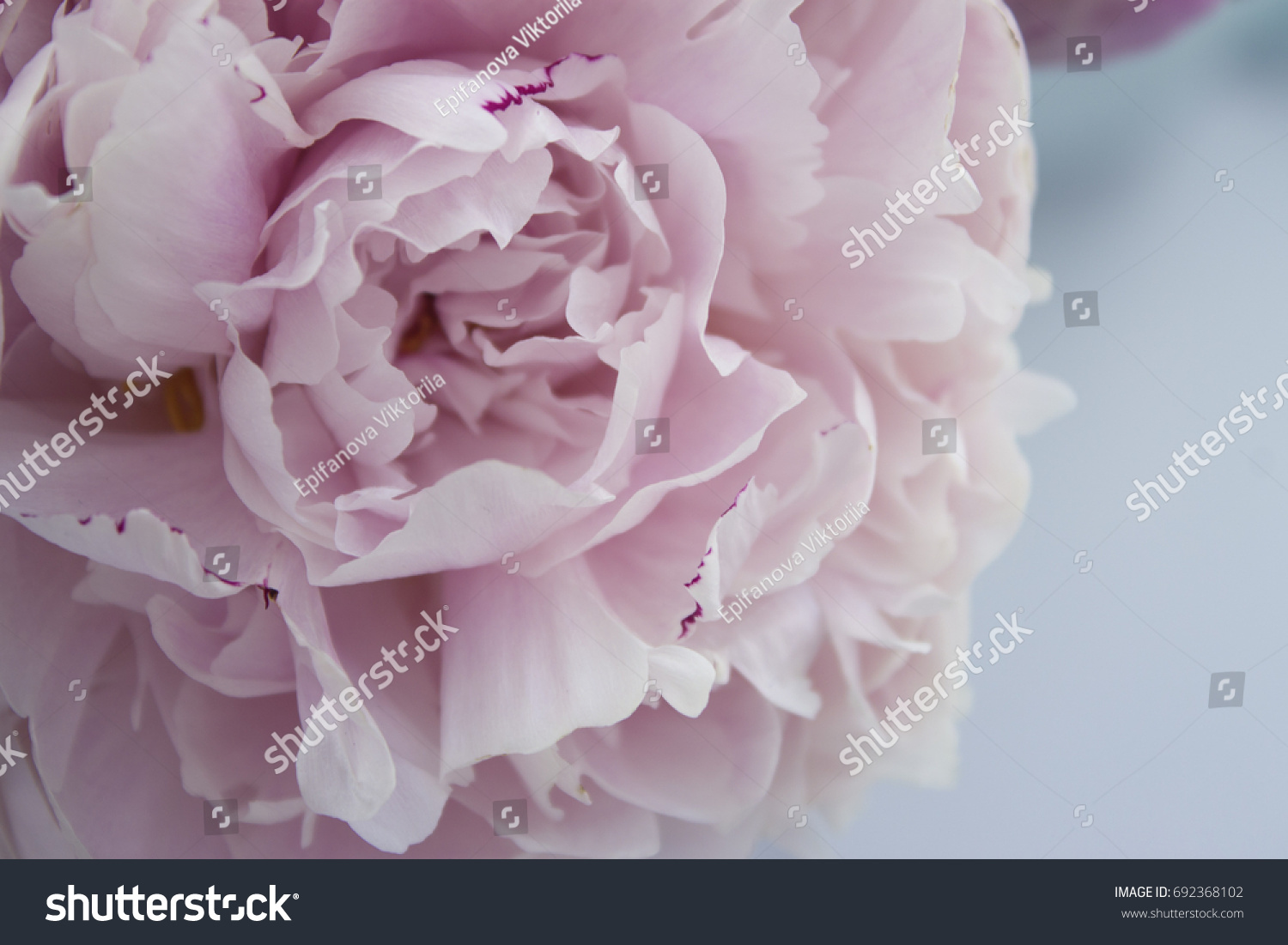 Closeup Fresh Pink Peonie Flower On Stock Image Download Now