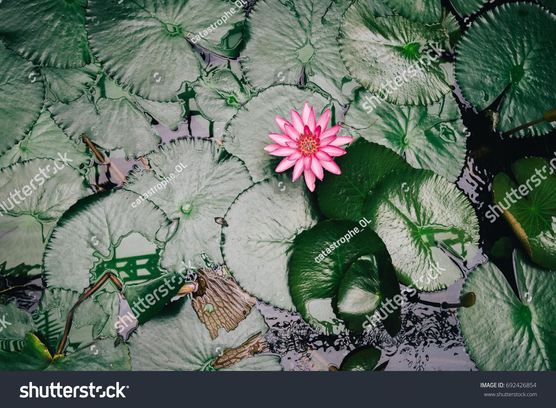 Pink Lotus Water Lily Aquatic Flowering Stock Photo Edit Now