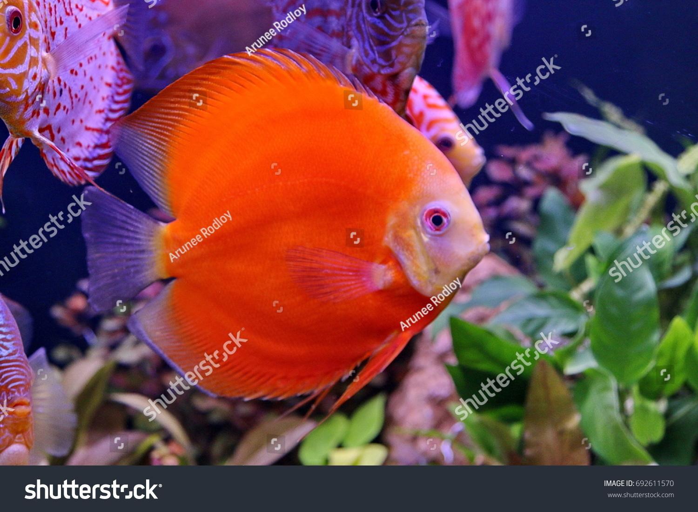 Symphysodon Aequifasciatus Discuspompadour Fish ...