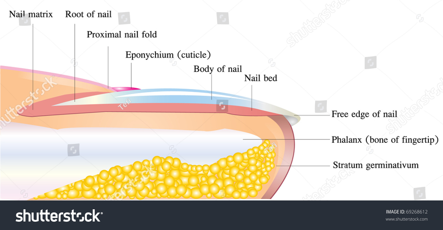 Vector Detailed Nail Anatomy On White Stock Vector (Royalty Free ...