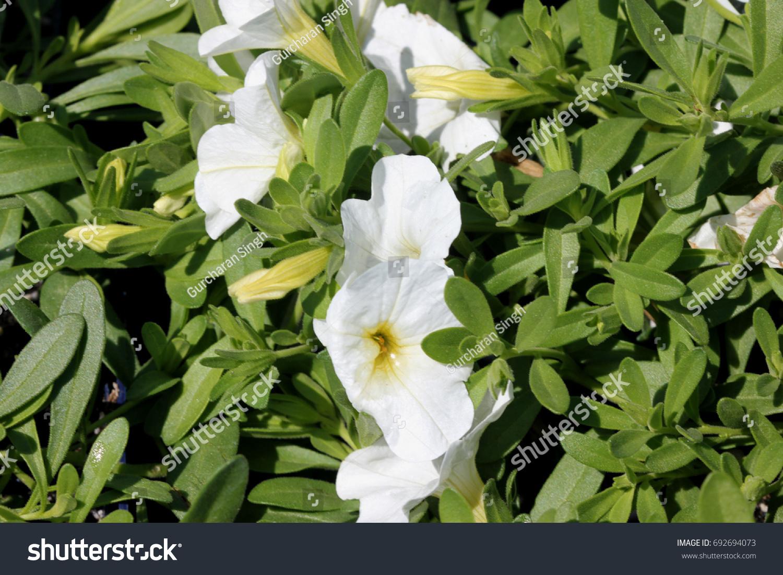 Calibrachoa Minifamous Pure White Mini Petunia Stock Photo Royalty