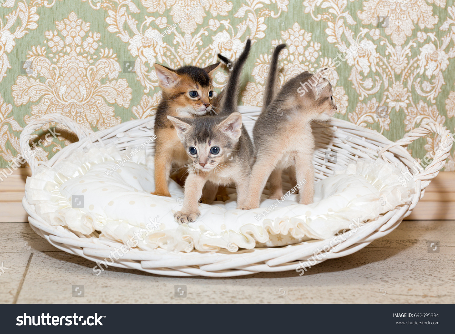 Cute Kittens Little Purebred Abyssinian Kittens Stock Photo ...