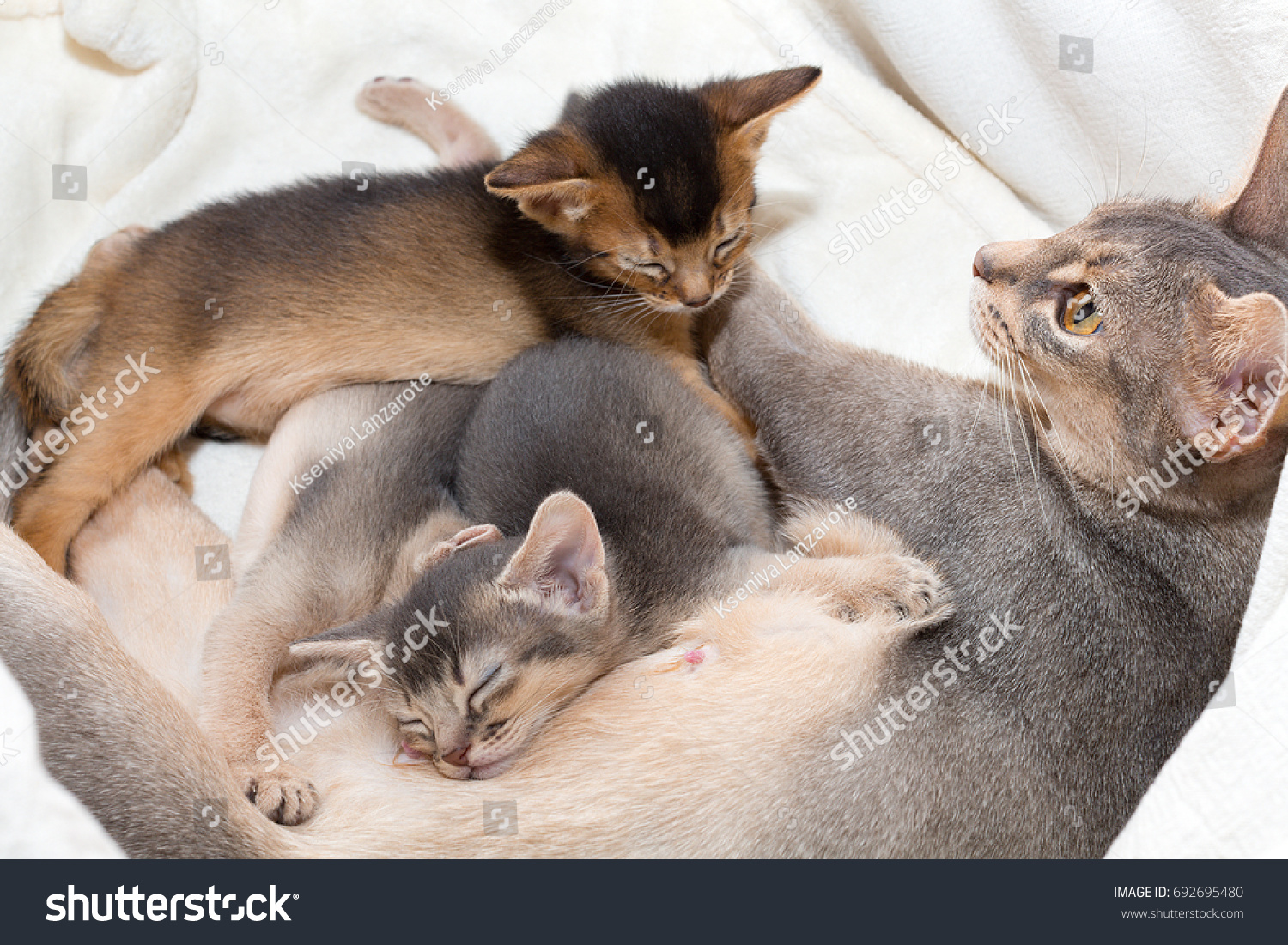 Abyssinian Mother Cat Breastfeeding Nursing Her Stock Photo ...