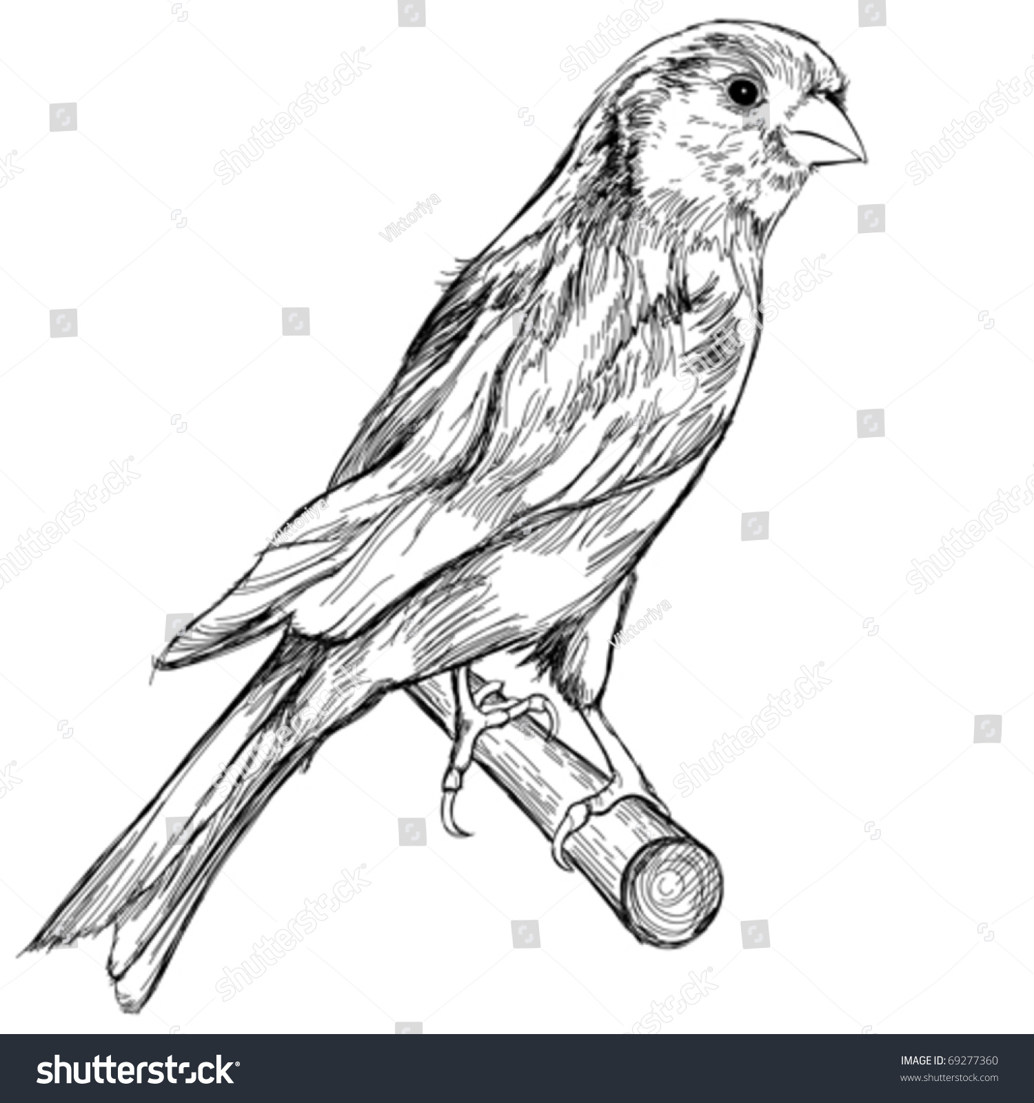 Black White Sketch Canary Bird Sitting Stock Vector 69277360 - Shutterstock