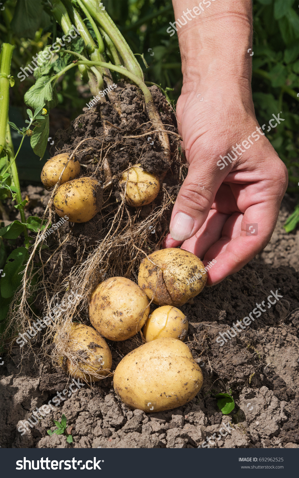 Harvesting New Potatoes Hobby Garden Stock Photo (Royalty Free ...